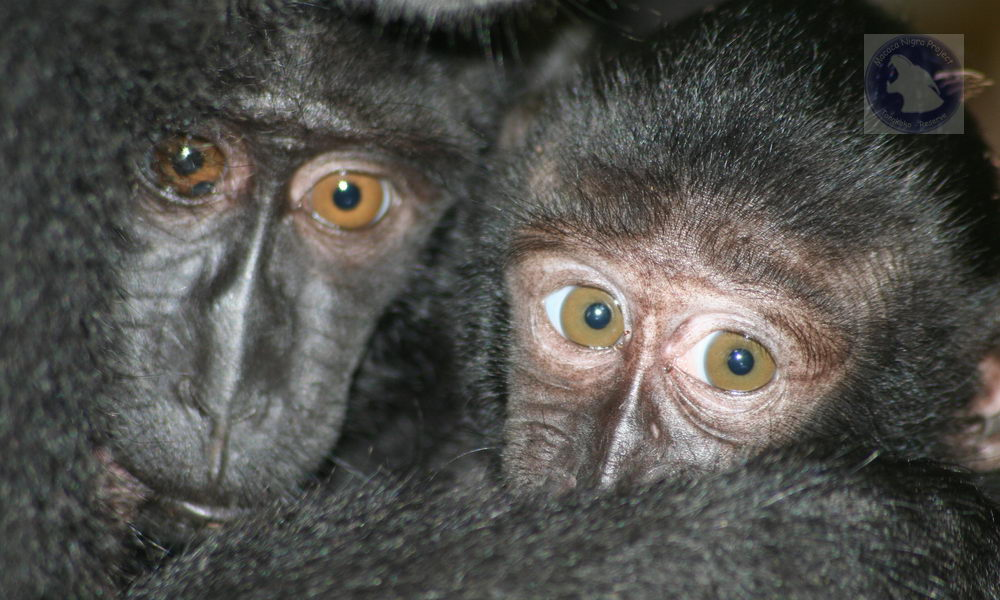 Crested macaques - sisters